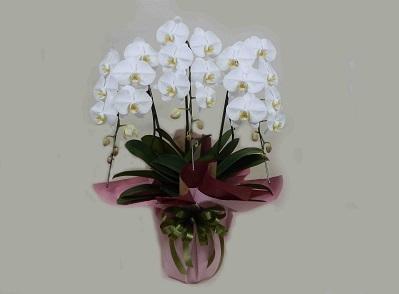 画像1: 胡蝶蘭鉢(白・3本立)