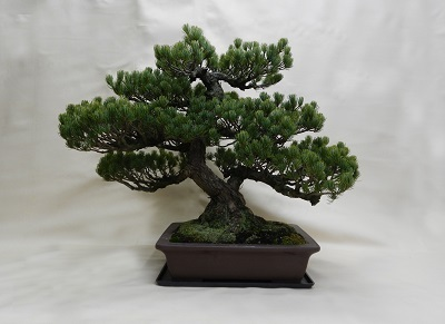 画像1: 松盆栽(リース)
