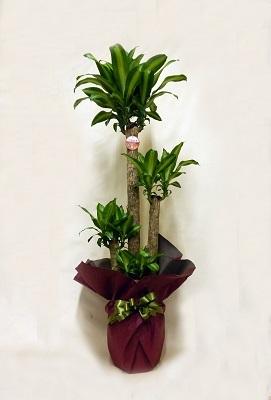 画像1: 幸福の木鉢(8号)