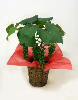画像1: ブドウ鉢