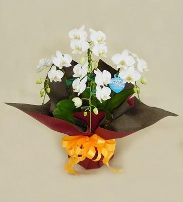 画像1: ミニ胡蝶蘭鉢(白)
