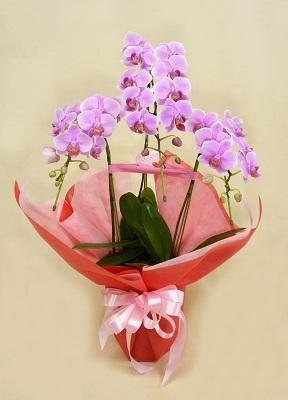 画像1: ミニ胡蝶蘭鉢(ピンク)