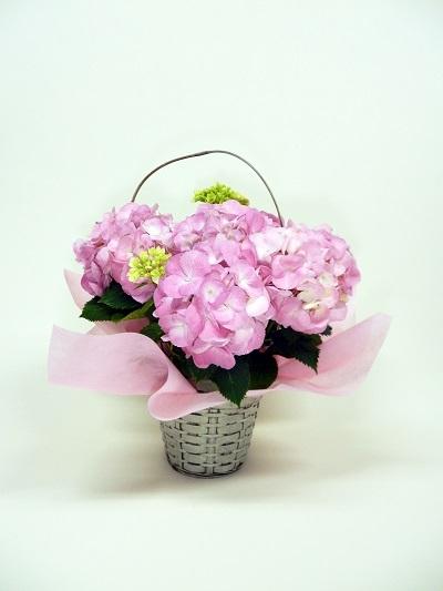 画像1: アジサイ鉢(ピンク・バスケット入り)