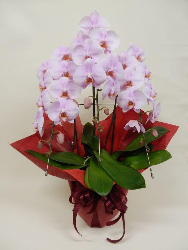 画像1: 胡蝶蘭鉢(ピンク・3本立)