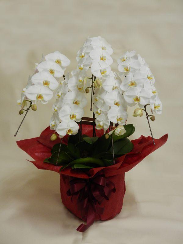 画像1: 胡蝶蘭鉢(白・5本立)