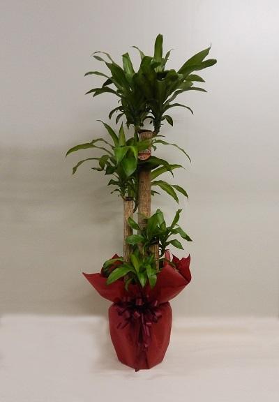 画像1: 幸福の木鉢(10号)